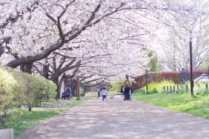井草森公園 桜