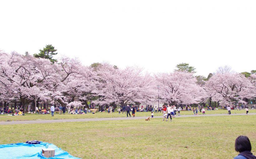 東京都 小金井公園 桜