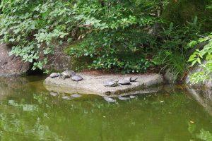 池には亀さんも