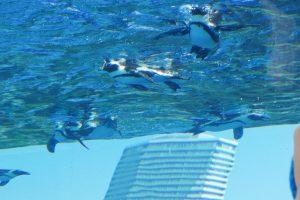 泳ぐペンギンを下から眺める