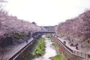 石神井川 花見 桜