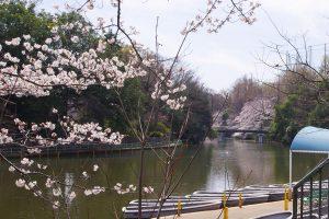 武蔵関公園 桜 花見 2018