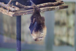井の頭公園動物園 コウモリ