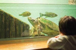 井の頭動物園 水生物館 カミツキガメ